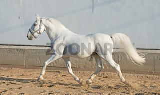 running Lipizzaner horse at white wall background