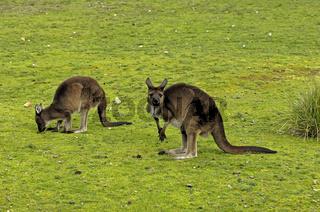 Kangaroo Island Kangaroo, Macropus fulliginosus fulliginosus, Kangaroo Island, Südaustralien