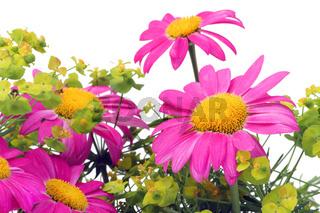 Pink camomiles macro