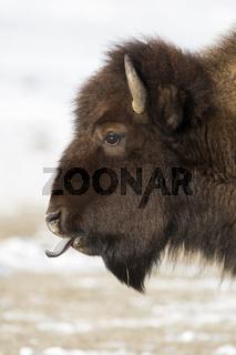 blaue Zunge... Amerikanischer Bison *Bison bison*