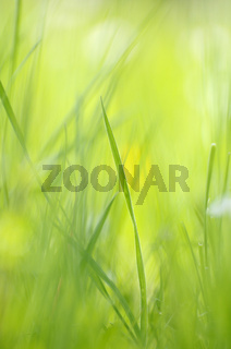 Gras, Wiese, Frühling - Gras, meadow, spring