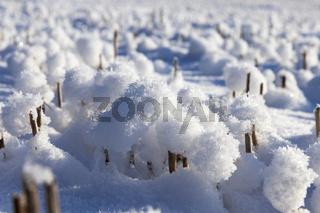 Snow in wheat fields