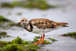 Ruddy Turnstone on the beach of Paracas Bay, Peru