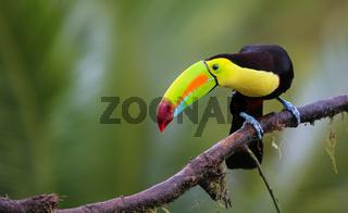 Regenbogentukan im Urwald Costa Ricas