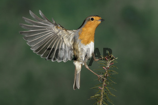 Rotkehlchen, (Erithacus rubecula), European Robin