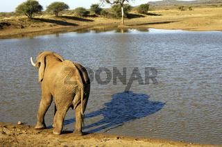 Elefant und sein Schatten