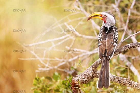 Gelbschnabeltoko, Kruger Nationalpark, southern yellow-billed hornbill, Tockus leucomelas, Südafrika