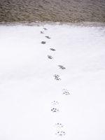 Spuren eines Tier durch den Schnee am See