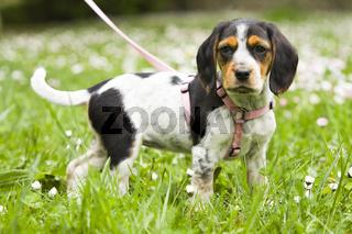 Hundewelpe auf einer Wiese - whelp on a meadow