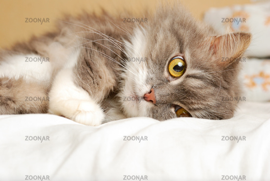 persian old cat is lying on bed and looking at camera