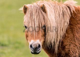 Mini Horse Looking at the Camera