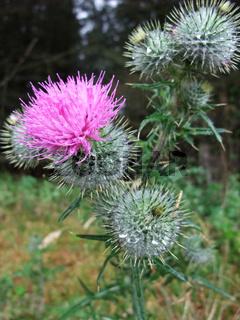 Schottische Stachelplanze / Scottish Thistle