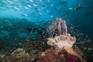 Korallenriff mit Lederkorallen, Indonesien
