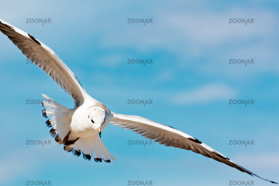 Flying seagull on blue sky