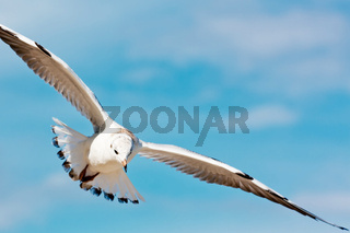 Flying seagull on blue sky