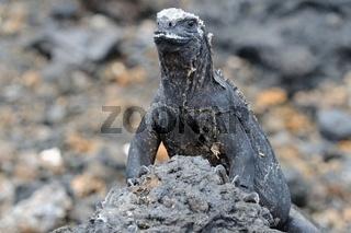 vorsichtige Meerechse Las Tintoreras Galapagos Inseln Ecuador