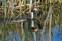 Haubentaucher (Podiceps cristatus) bringt Nistmaterial ans Nest