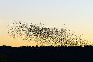 Sunset with a large flock of Jackdaws flying