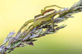 Gerandete-Jagdspinne-(Dolomedes-fimbriatus), Deutschland