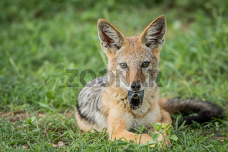 Black-backed jackal with something in his mouth.