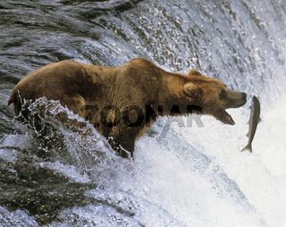 Lachsfischender Braunbär, Katmai NP, Alaska