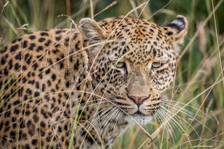 Leopard hiding in the high grasses.