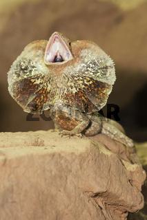 Kragenechse, Chlamydosaurus kingii