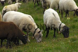Schafe auf Futtersuche