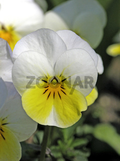Viola cornuta 'Four Seasons Cream Yellow', Horn-Veilchen
