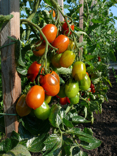 Solanum esculentum Ovalino, Tomaten, tomatoes