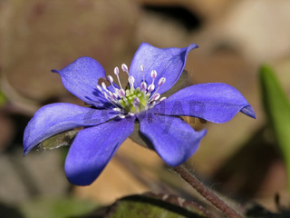 Hepatica nobilis, Leberblümchen