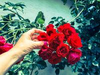 Rote Rosen pflegen