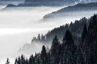 Forested mountain slope in low lying valley fog with silhouettes of evergreen conifers shrouded in mist. Scenic snowy winter landscape in Alps, Bavaria, Germany.