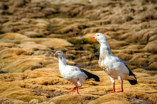 Two Andean geese