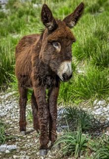 junger Esel