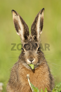 Feldhase (lepus europaeus) hare rabbit