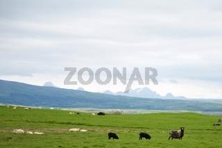 Schafherde in Island