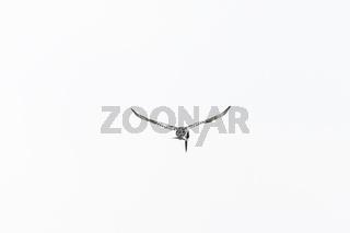 Pied Kingfisher in mid flight