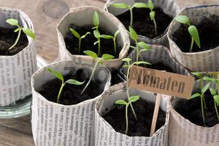 Junge Tomatenpflanzen mit Schildchen und Schriftzug