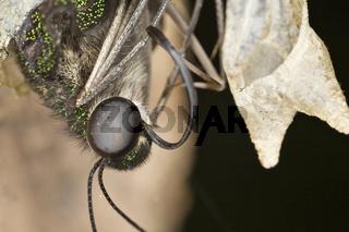 Geschweifter Eichelhäher klettert aus der Schmetterlingspuppe - Graphium agamemnon climbs from the butterfly doll