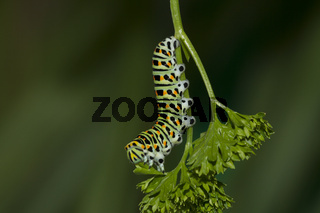 Schwalbenschwanz - Raupe, Papilio machaon, Common Yellow Swallowtail -  Caterpillar