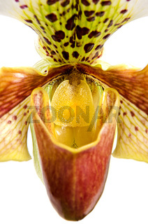 Close up of orchid (Paphiopedilum Maudiae)