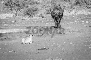 Lion starring at a Buffalo in black and white.