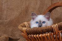 HEILIGE BIRMA KATZE, BIRMAKATZE, SACRET CAT OF BIRMA, BIRMAN CAT, KITTEN, IM KORB,