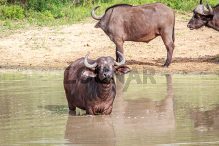 African buffalo standing in the water.