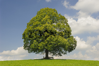 Große Linde als Einzelbaum