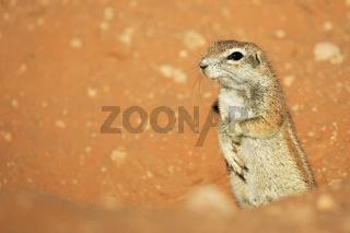 Erdhoernchen, Afrikanisches Borstenhoernchen (Xerus rutilus), Kalahari, Kgalagadi Transfrontier Park, Suedafrika, Botswana, Afrika, African ground squirrel, South Africa