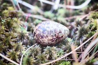 Cryptic painted (mottled) egg of European snipe