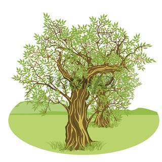 Olivenbaum Land.jpg