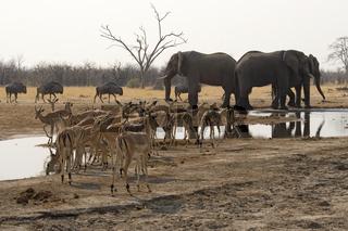 Afrikanischer Elefant, Wasserloch, Loxodonta africana, African Bush Elephatn, Waterhole, Gnus, Springboecke